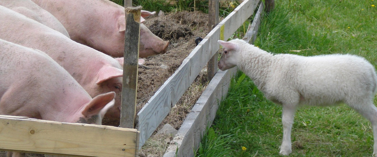 Lamm och grisar