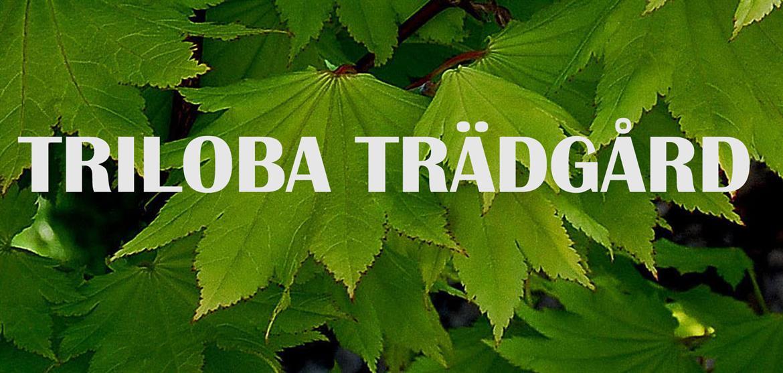 Triloba Handelsträdgård