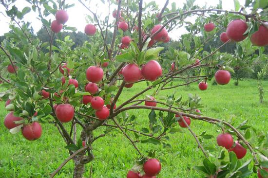 Fruktodlingarna på Regnér Garden ligger i Kungsbacka och Varberg kommun, mitt i hjärtat av norra Halland