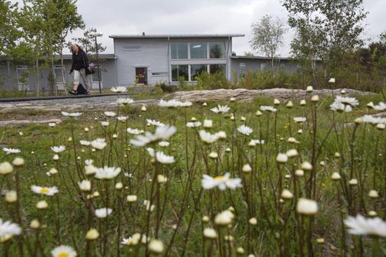 Prästkragar framför Löftadalens folkhögskola i Åsa