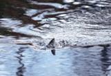 Fisk i vatten