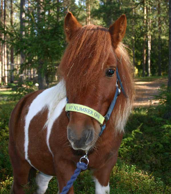 Piteå Horse club