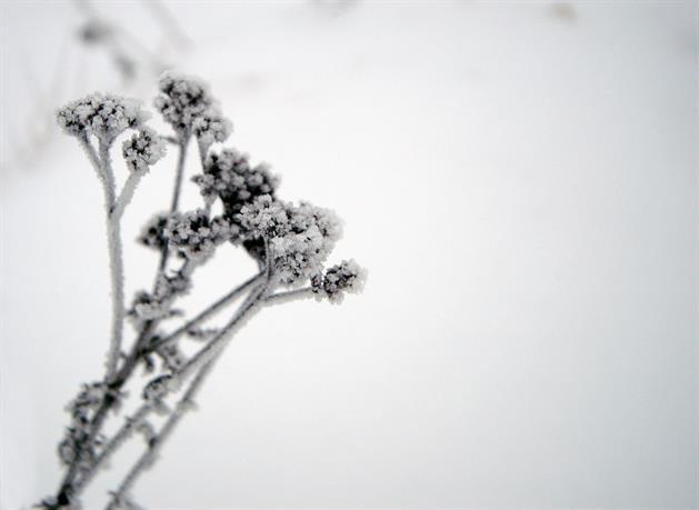 Växt med frost