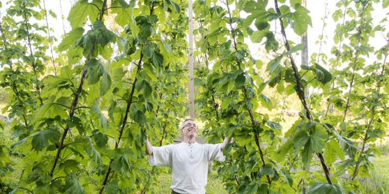 Inderøy Gårdsbryggeri, along the Golden road - in the hops garden. Copyright: Inderøy Gårdsbryggeri