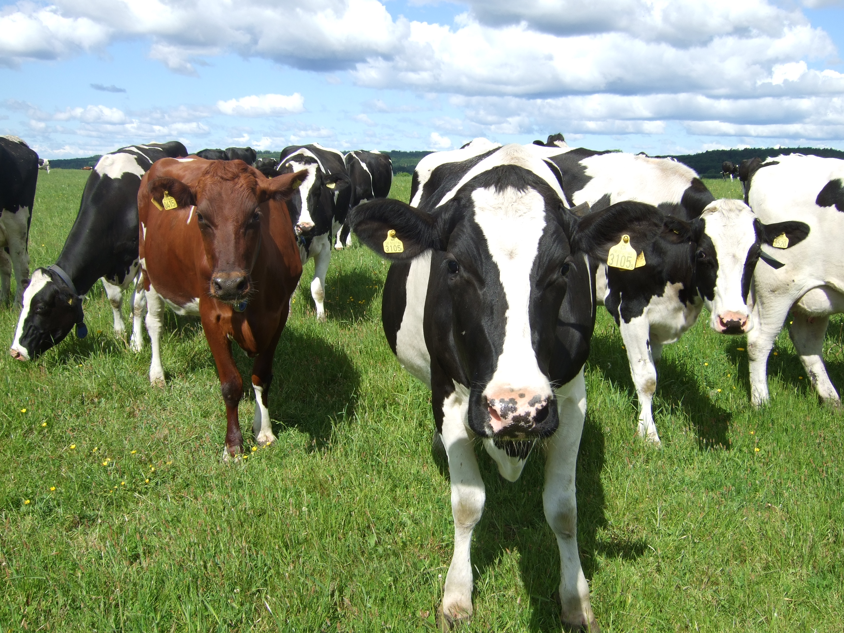 Wapnö har en stor besättning kor och eget mejeri.