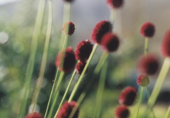 Blommor hos Astrant Plant handelsträdgård