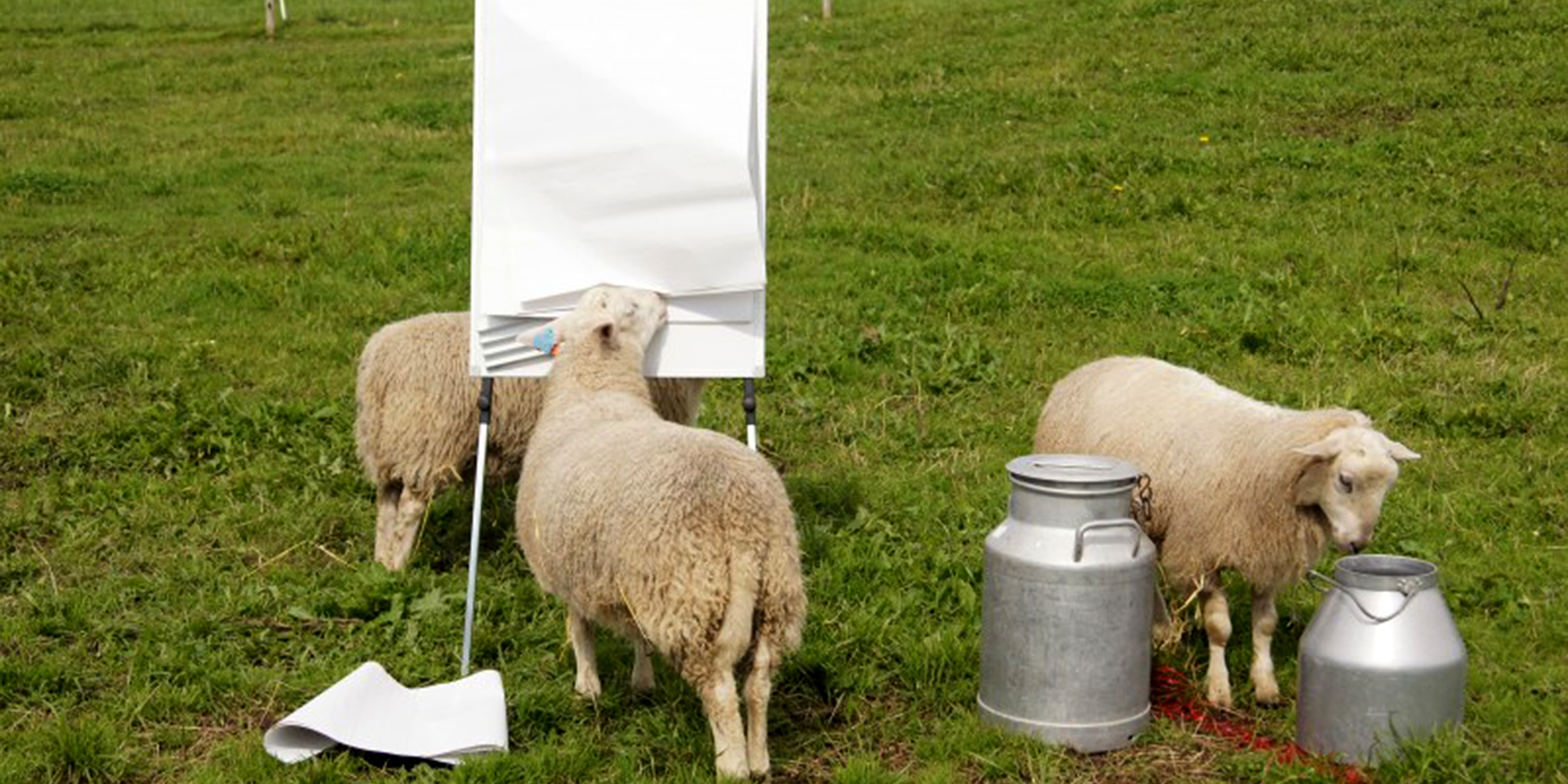 Sheep meeting at Husfrua country farm hotel. Copyright: Husfrua Gårdshotell