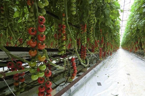 Warberg Tomat har 10 sorters tomater - gula, röda, bruna, rosa och randiga i färgen och storleken är plommon, avlånga, biff och vanliga.