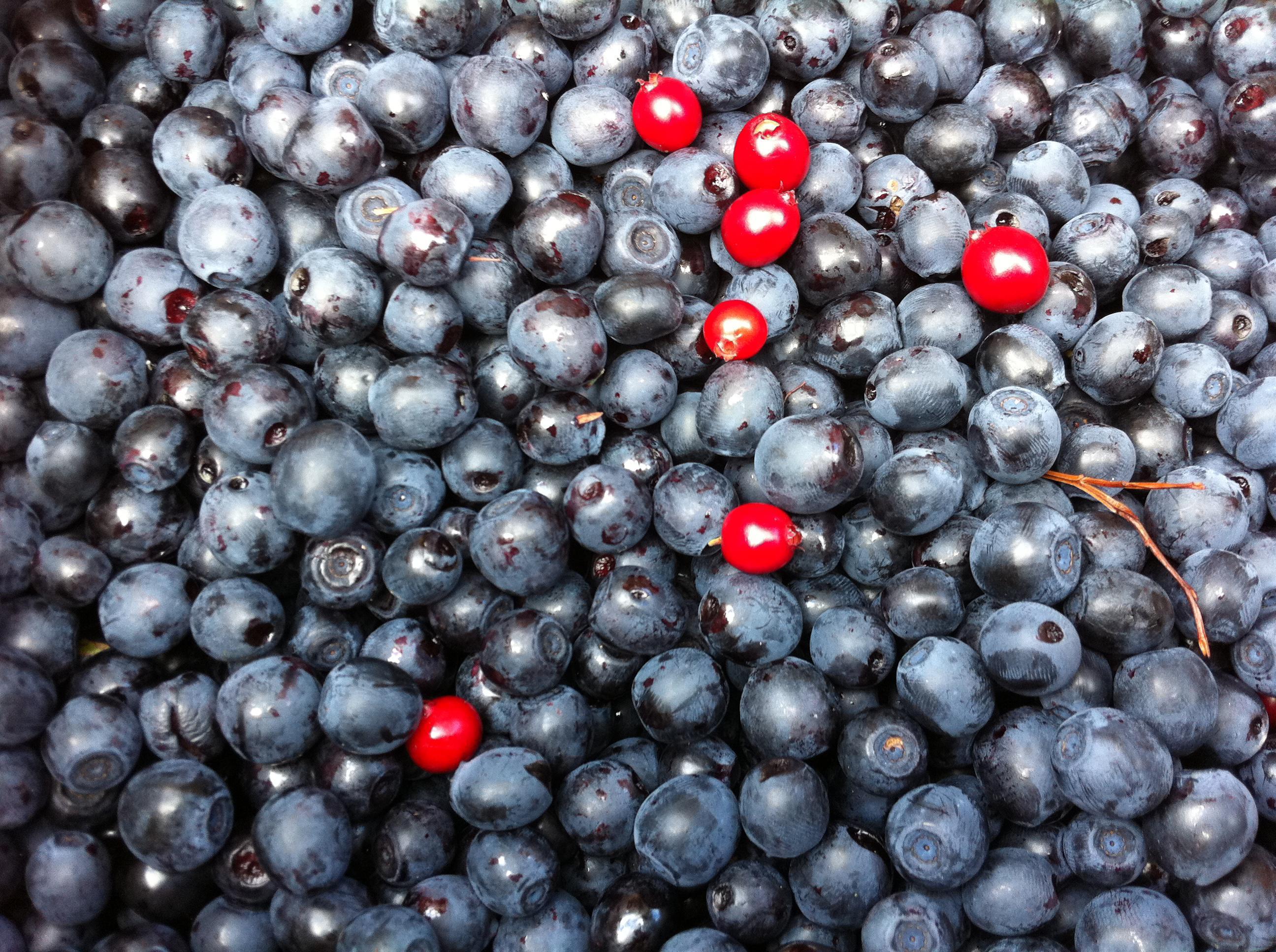 Bild av en mängd plockade blåbär blandade med några lingon.