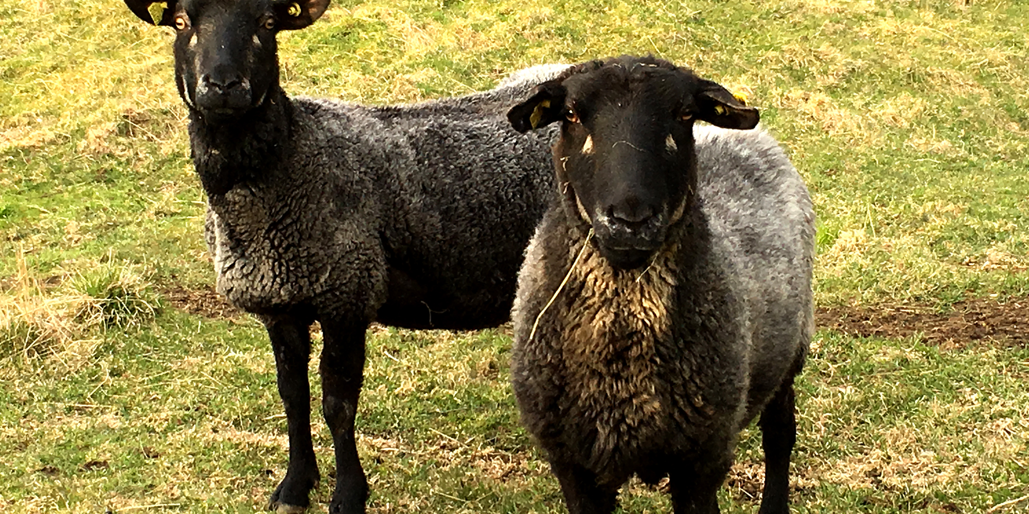 Berg farm - grey trønder sheep x 2. Copyright: Visit Innherred (MN)