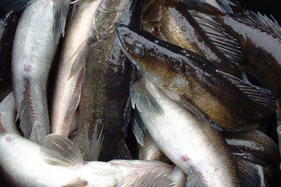 På Tiraholms Fisk vid Bolmens strand fångas gös som sedan serveras och säljs på gården