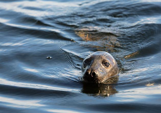 Säl i vattnet, Hansi Gelter