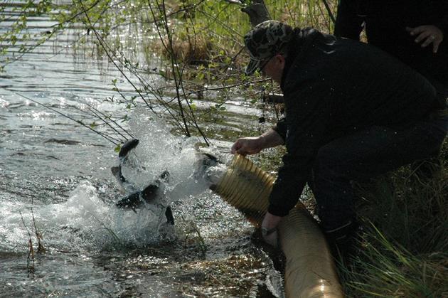 Utsättning av fisk i Frängtjärn, Arnemarks intresseförening