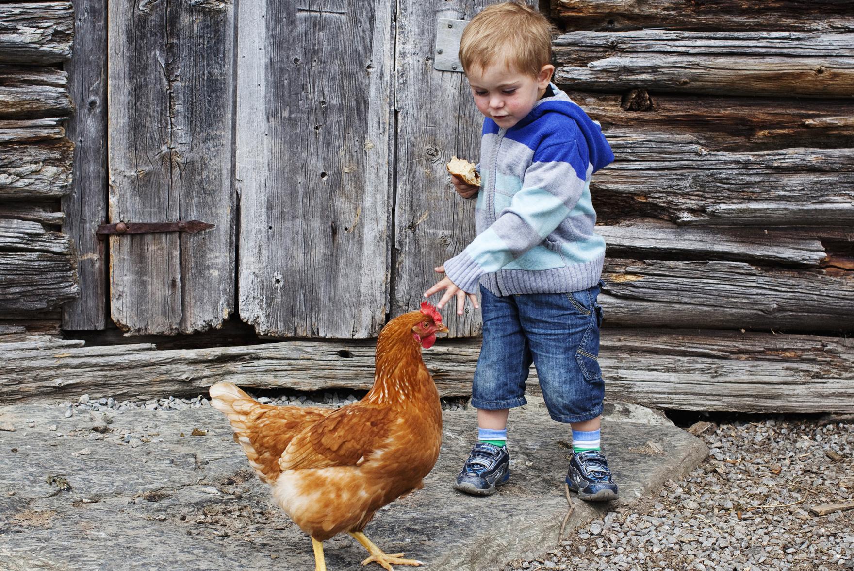 På Mårbu Turisthytte kan du være med å stelle dyrene. Blant annet hester, griser og høner.  , © Fotograf Jacobsen
