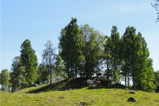 På Ulvanstorp finns bland annat kor för köttproduktion.
