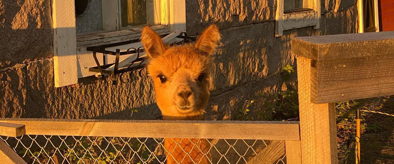 Nyfiken alpacka