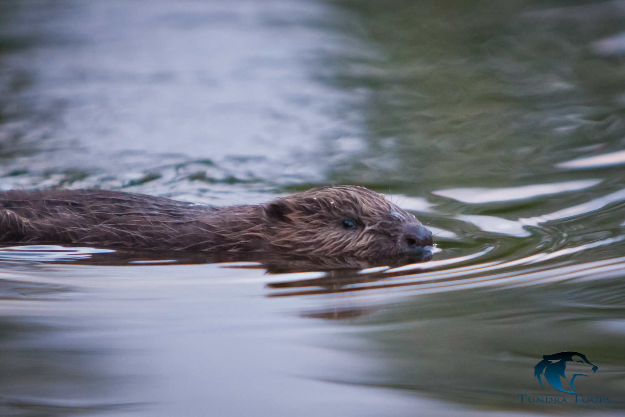 Beaver Safari -2. Copyright: Tundra Tours