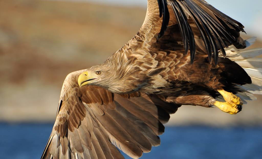 Adler Safari in Flatanger - Norway Nature