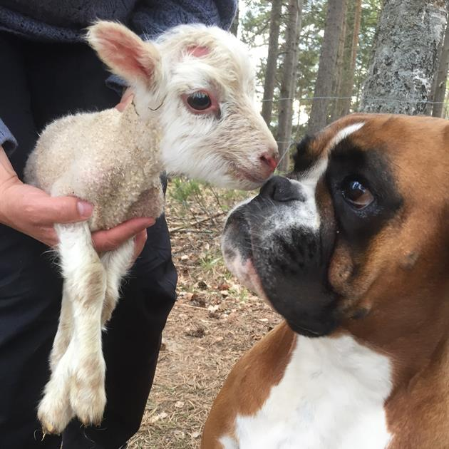 Hunden Doris hälsar på ett lamm