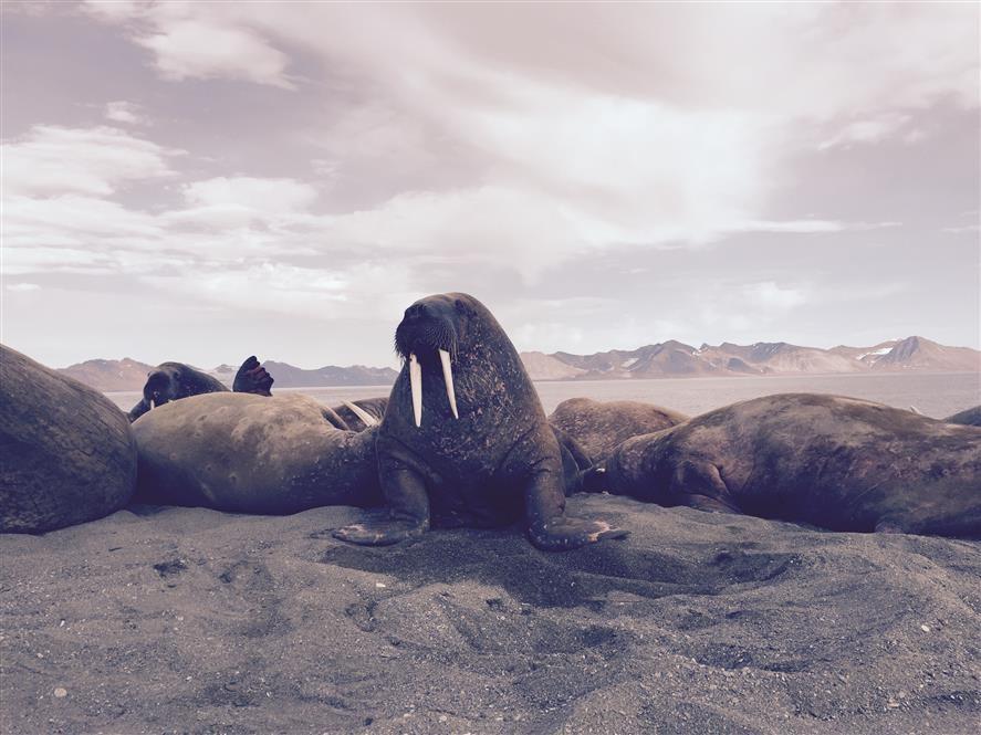 Hvalross Safari