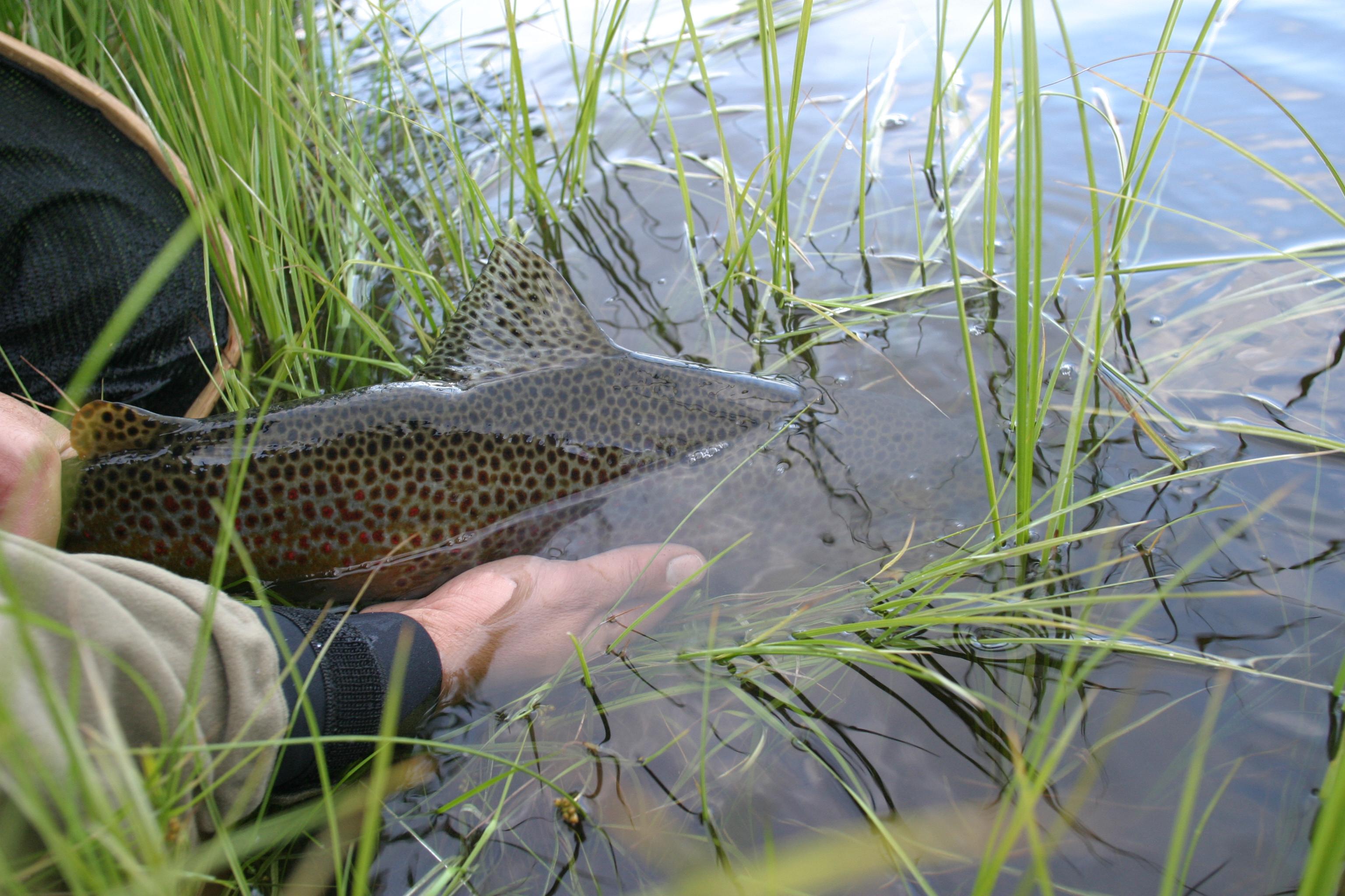 Fisk -  tillbaka i sjön, Örjan