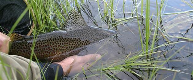 Fisk som släpps tillbaka i vattnet, Piteå kokmmun