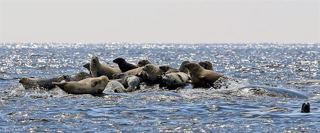 Guide Natura singing seals, Guide Natura