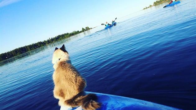 Hund spanar på kajakpaddlare, Bea's i Jävre