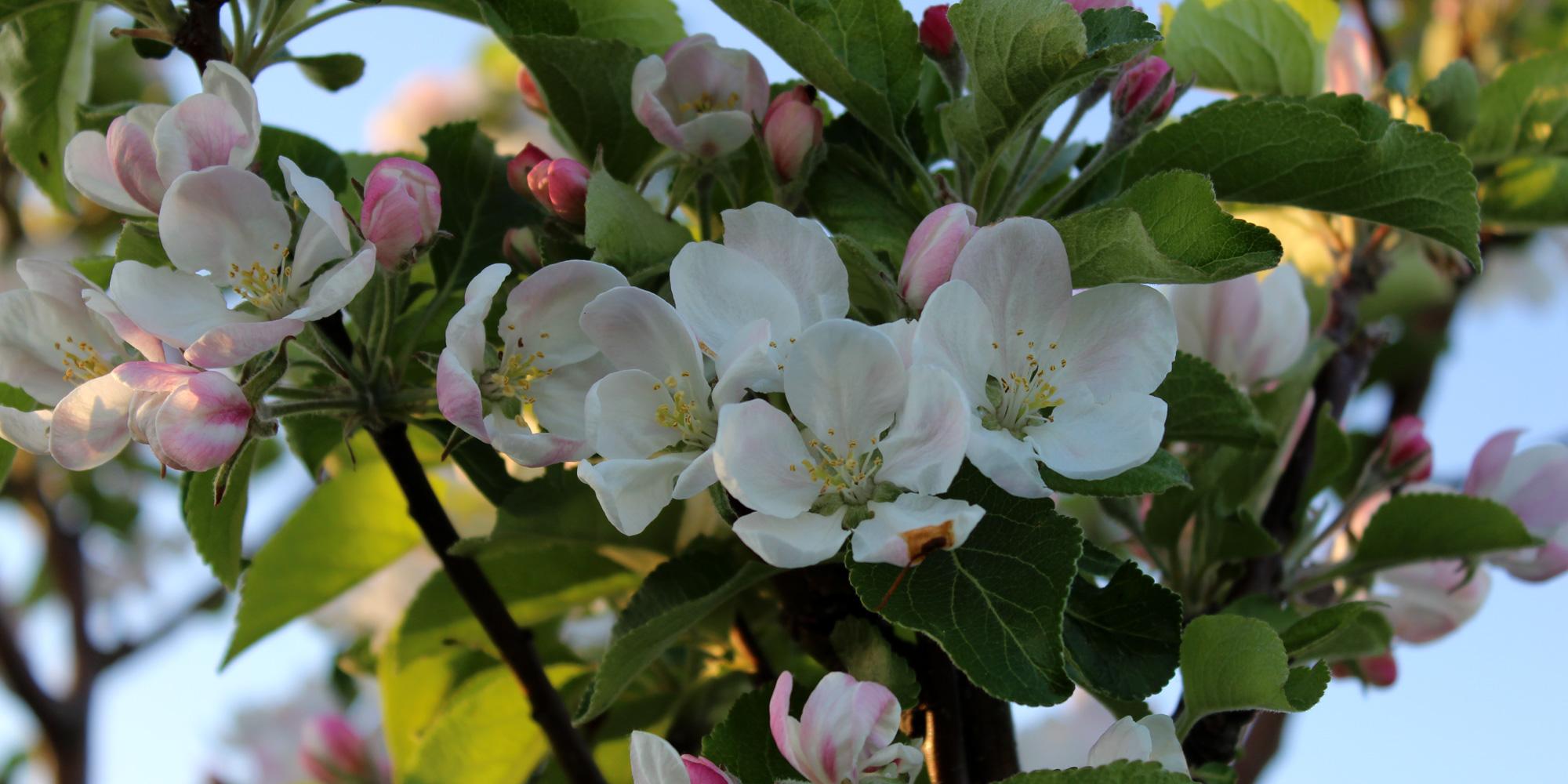Epletre i blomst på Mikkelhaug gård i Levanger. Copyright: Mikkelhaug