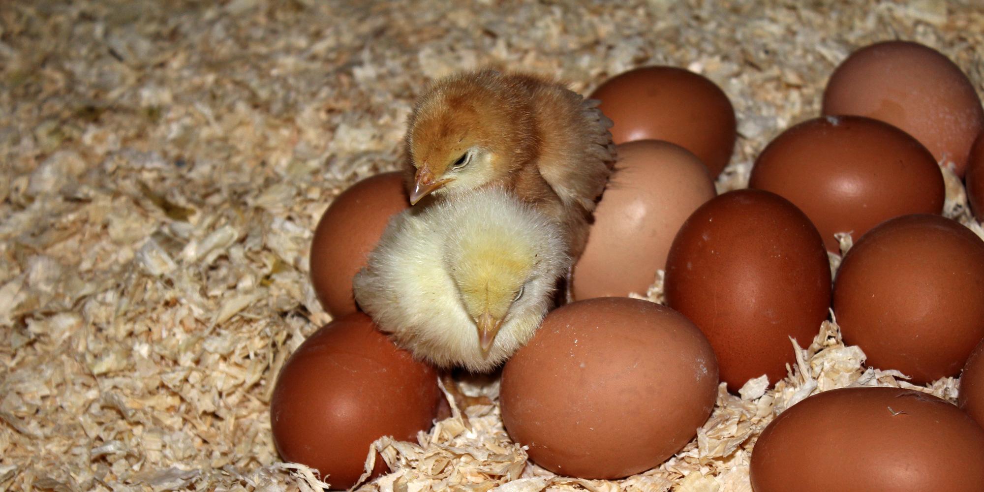 søt kylling blant egg på Rias eggproduksjon. Copyright: Mikkelhaug