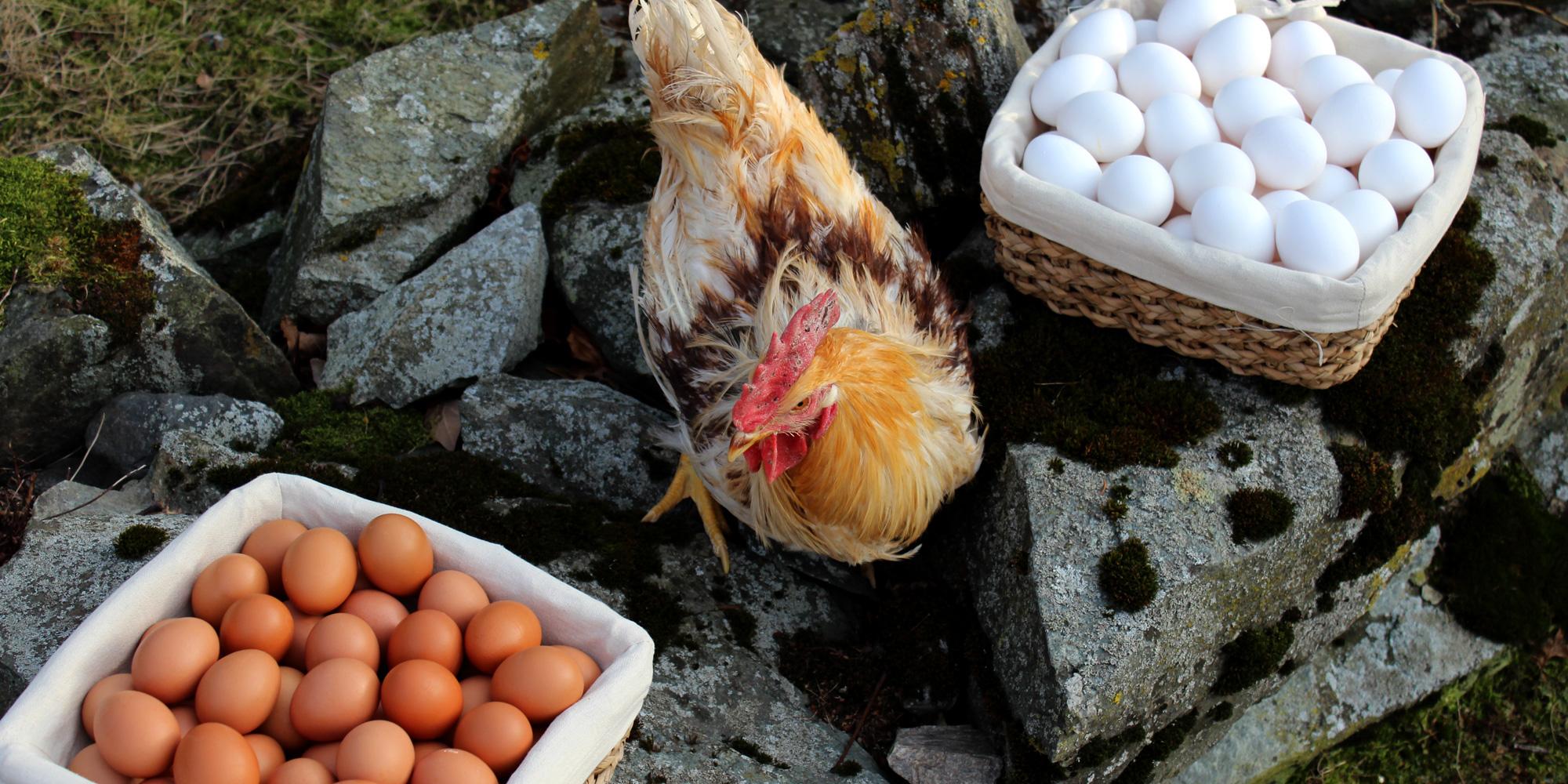 Høne med egg fra Rias egg. Copyright: Mikkelhaug