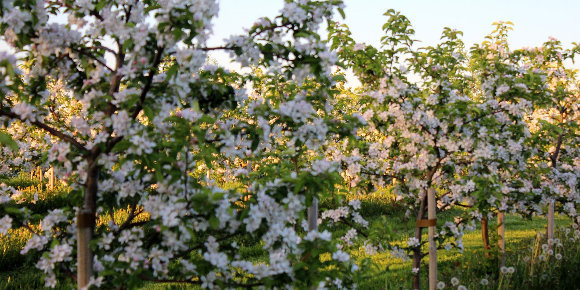 Blomstrende eplehage på Mikkehaug gård. Copyright: Mikkelhaug