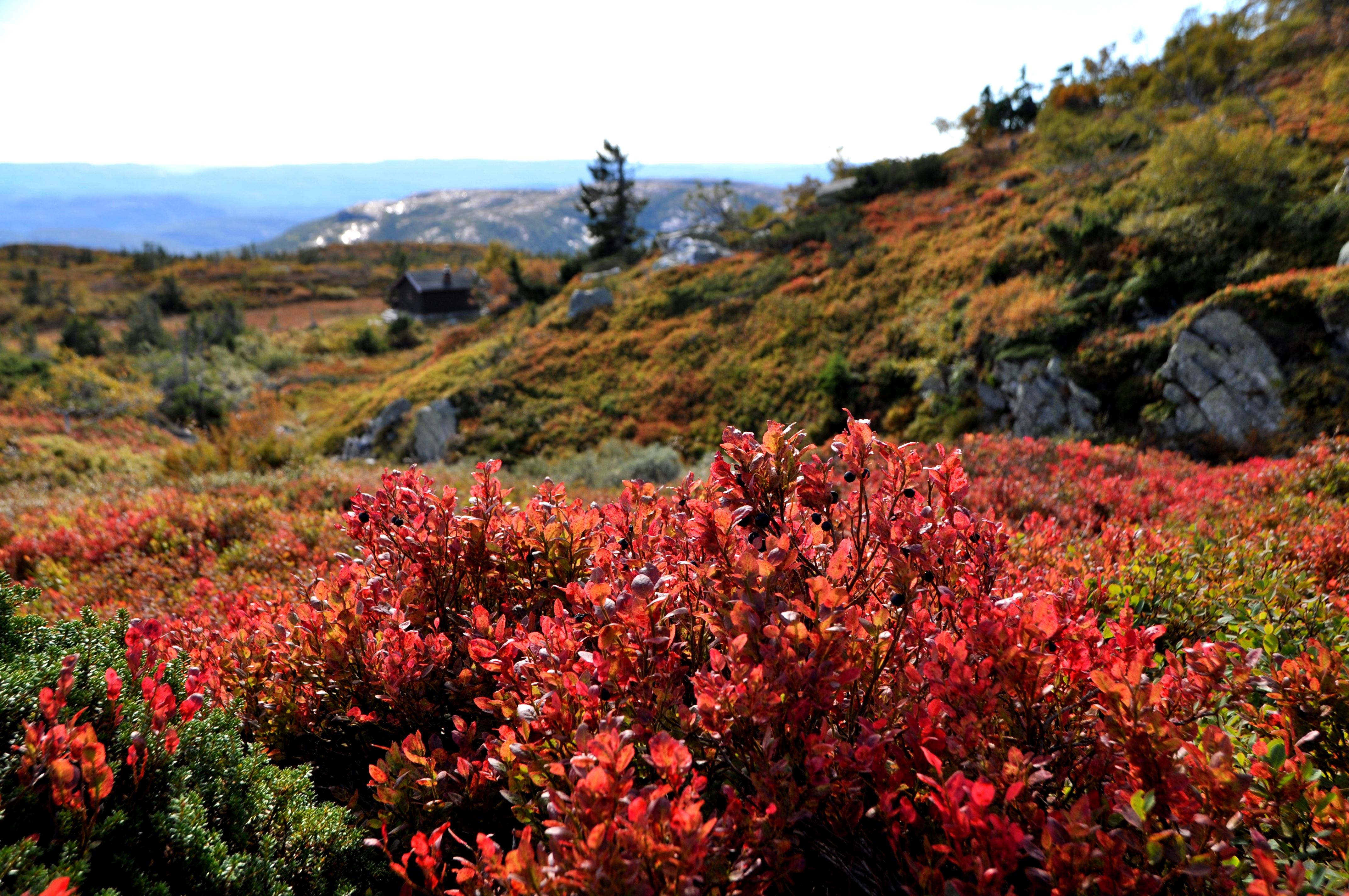 Rød lyng, med fjell og hytte i bakgrunnen., © Øystein Akselberg