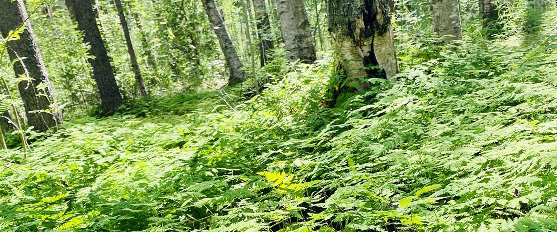Lomtjärn vegetation