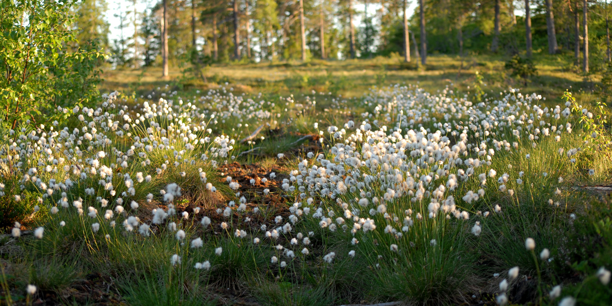 Myrull langs stien til Norges Geografiske Midtpunkt i Steinkjer. Copyright: Visit Innherred