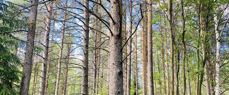 Skogsbild Lomtjärn