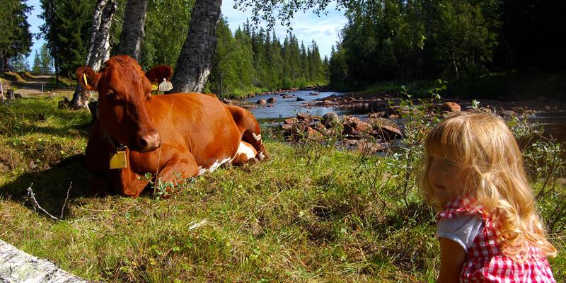A littel girl watching over one of the cows at Holsingseteren summer mountain farm in Snåsa. Copyright: Holsingseteren