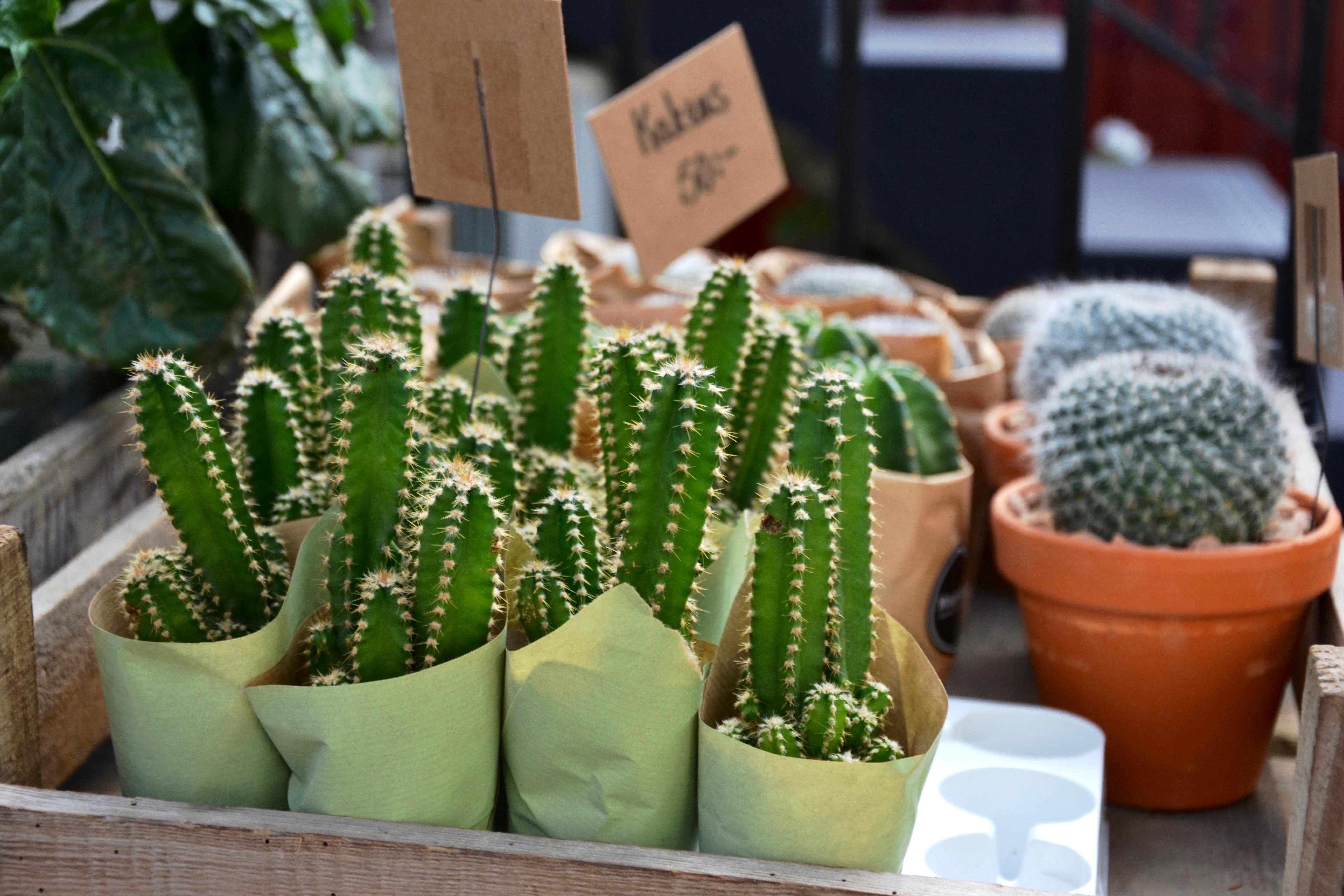 Bild på kaktusar,