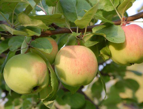 Äppelmusteri, Annicas Handelsträdgård