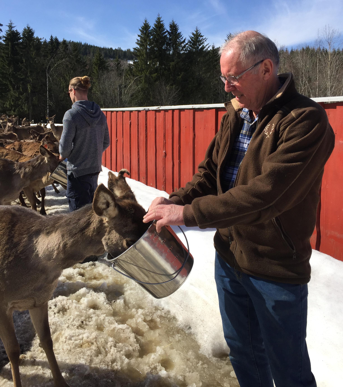 Foring av hjort hos Morten og Siljanhjort